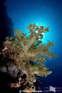 Soft coral in the sunlight by Pietro Cremone 